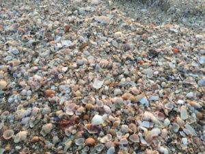 サクラ貝が流れ着く