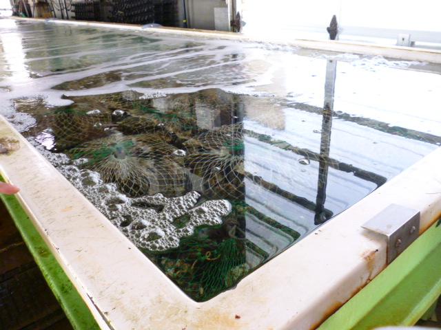 牡蠣を滅菌中
