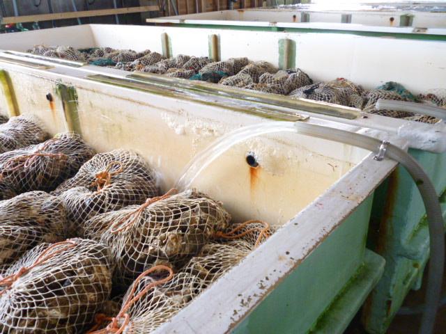 出荷待機中の牡蠣を滅菌準備